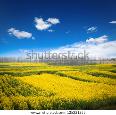 rapeseed field against a blue sky,beautiful spring landscape