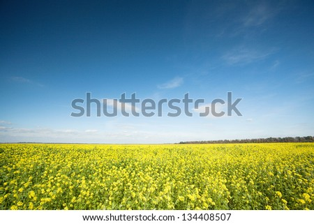 rapeseed field against a blue sky with clouds