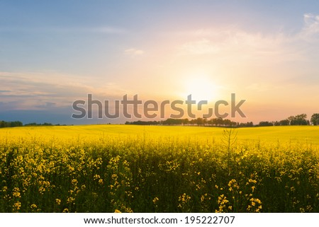 Rapeseed field against sunset