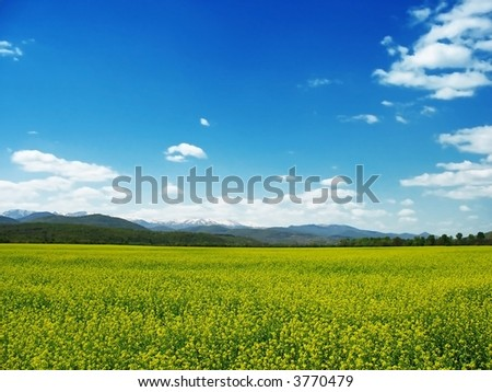 rapeseed field blossom in early spring