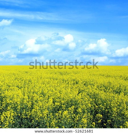 rapeseed field blue sky white clouds