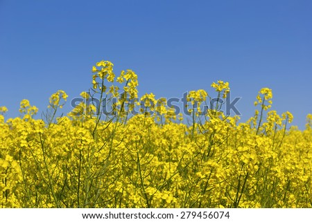 Rapeseed field. Canola blossoms in springtime with different focus. Was seen in Brandenburg. - stock photo