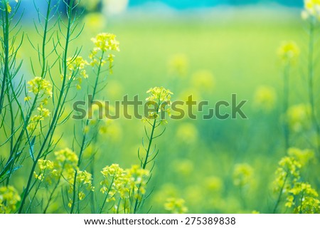 Rapeseed field close up. Intentionally shot with shallow depth of field for dreamy feel. - stock photo