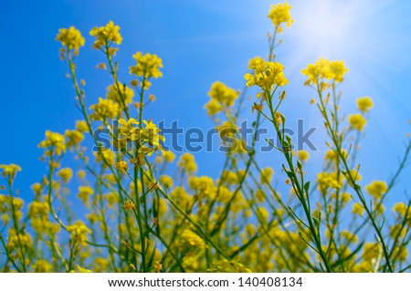 Rapeseed field for manufacture of biofuel - stock photo