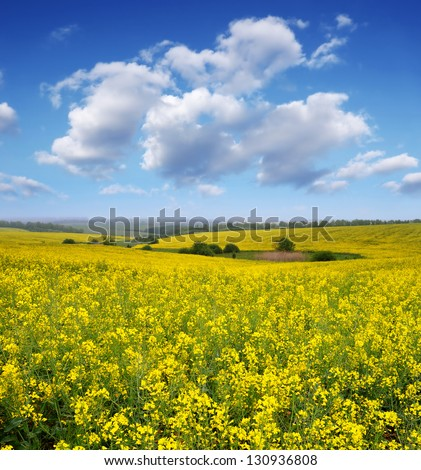 Rapeseed field in the afternoon. Yellow flowers and blue sky with clouds - stock photo
