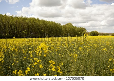 Rapeseed field with a bosket in the background - stock photo