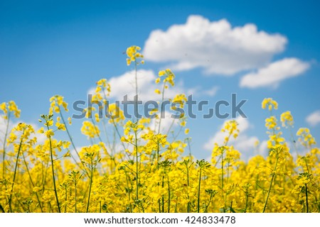Rapeseed field with blue sky with beautiful cloud - plant for green energy, Blooming canola flowers. Rape on the field in summer. Bright Yellow rapeseed oil. Flowering rapeseed. Sunny field of rape - stock photo