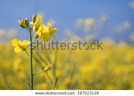 rapeseed field with the typical yellow flowers - stock photo