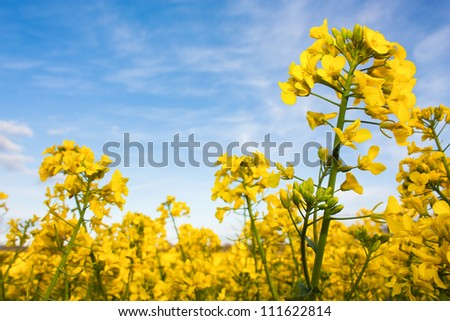 Rapeseed field with yellow canola crops against a blue sky - stock photo