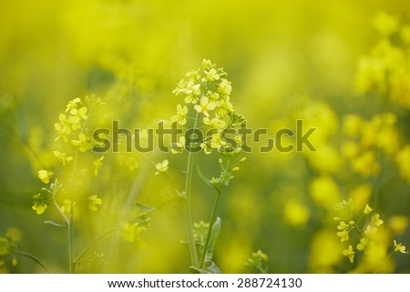 rapeseed field with yellow flowers - stock photo