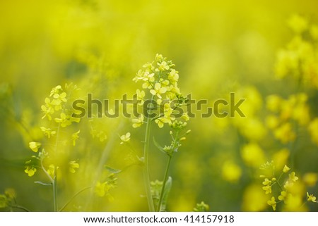 rapeseed field with yellow flowers