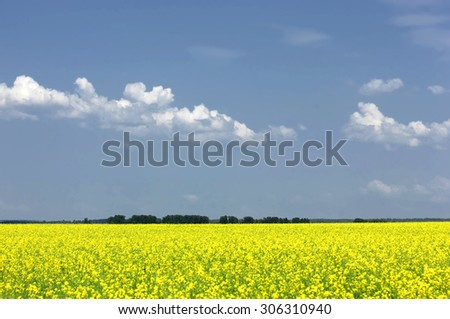Rapeseed field. Yellow flowers. The bright sun. blue sky - stock photo