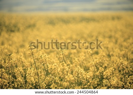 Rapeseed fields at Luoping China - stock photo
