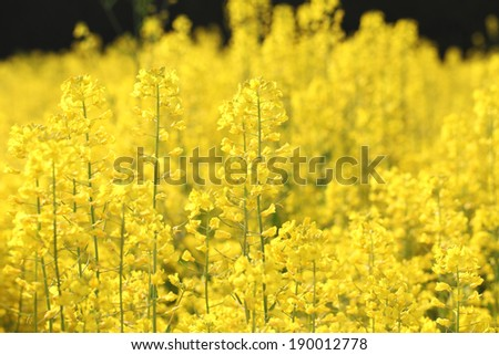 rapeseed flower in a field full of the yellow spring crop - stock photo