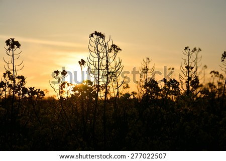 Rapeseed- in the evening