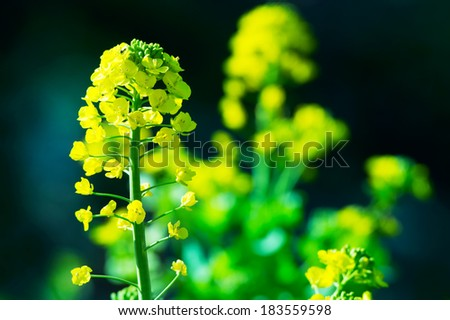 Rapeseed, mustard or Canola flower side lighted with dark background. - stock photo