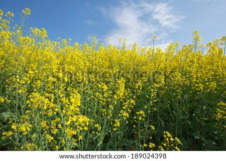 Rapeseed. Oilseed Rape, Canola, Biodiesel Crop.  Flowering oilseed rapeseed. Selective Focus of Canola Field - stock photo