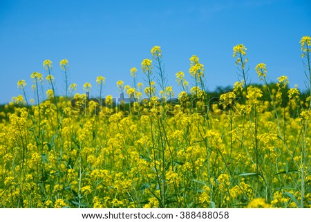 Rapeseed or canola flower field under deep blue sky. Focus is on middle rapeseed flower. - stock photo