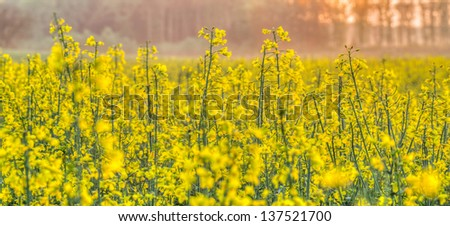 Rapeseed plant in the field abstract and background