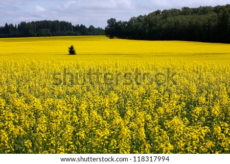 rapeseed, rapeseed, field, meadow, flowering meadow, yellow flowers tree field, summer, yellow field, agriculture