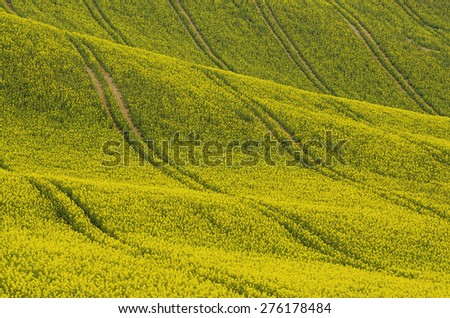 Rapeseed yellow field in spring, abstract natural eco seasonal floral background - stock photo