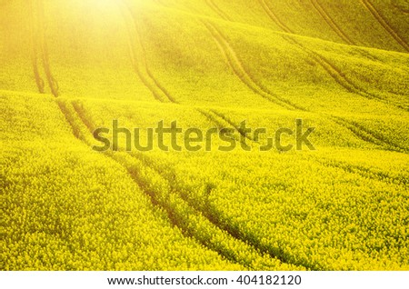 Rapeseed yellow field in spring, abstract natural sunny eco seasonal floral background - stock photo