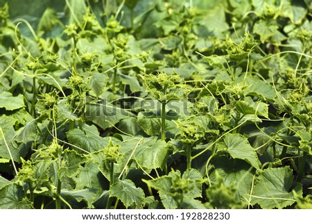 Rapidly growing cucumber seedlings before planting in the soil in bright sunlight - stock photo