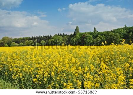 Rapseed in meadow - stock photo