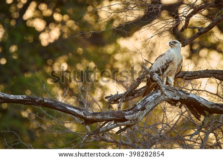 Raptor, Tawny Eagle, Aquila rapax, mid-sized african eagle with light colored feather, perched in backlight on old tree against setting sun in Kruger national park, South Africa.   - stock photo