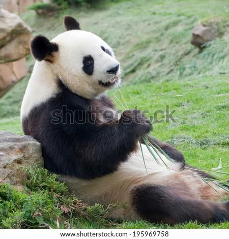 rare adult big panda eating bamboo - stock photo
