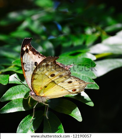 Rare African Salamis parhassus butterfly - stock photo
