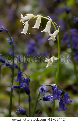 Rare Albino English Bluebell in English Woodland