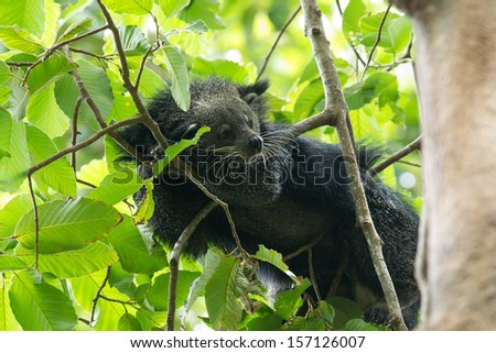 rare and amusing animal of binturong