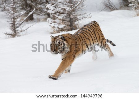 Rare and elusive Siberian Tiger in winter snow scene - stock photo