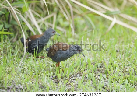 Rare bird (Black-tailed Crake) finding some food on ground