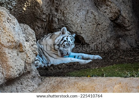 Rare Black and White Striped Adult Tiger - stock photo