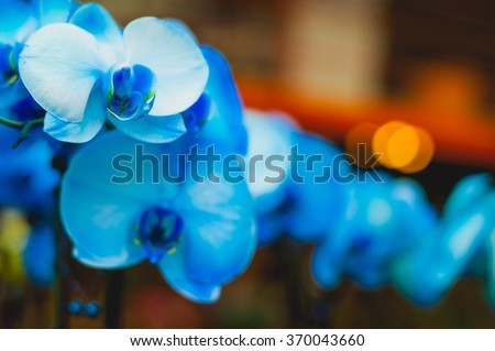 Rare blue bred orchid flowers on blurred orange background - stock photo