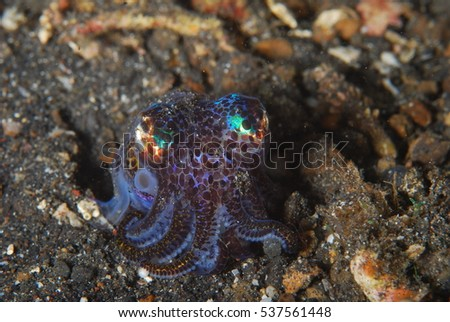 Rare bob tail squid