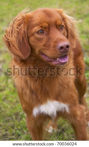 Rare breed of dog � Nova Scotia Duck Tolling Retriever. - stock photo