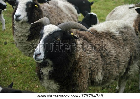 Rare breed sheep with horns and a black, white and brown thick coat.