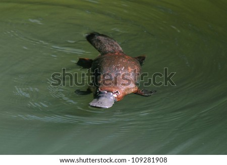 rare & elusive australian duck billed platypus in rainforest creek,eungella nat park, mackay,queensland,australia.exotic looking beaver tailed otter footed venomous mammal tropical jungle creek river - stock photo