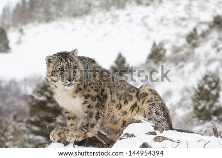 Rare Elusive Snow Leopard in Snow scene - stock photo