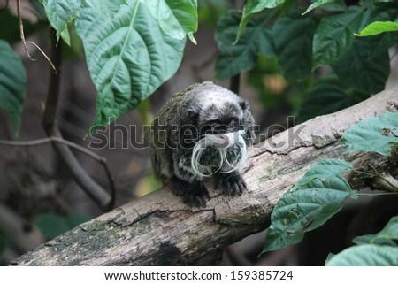 Rare Emperor Tamarin monkey from the Amazon jungle - stock photo