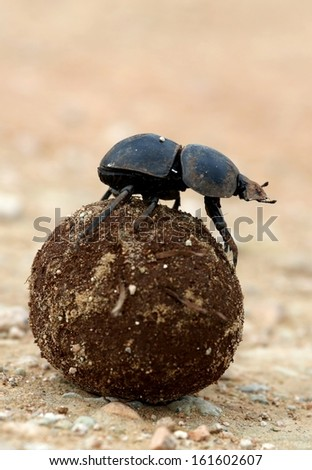 Rare Flightless Dung Beetle Rolling Ball of Dung for Breeding