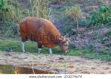 Rare full age of male Banteng(Bos javanicus ) who was in Red List of Threatened Species in Endangered species in nature at Wildlife Sanctuary,Thailand  - stock photo