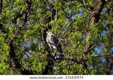 Rare Gray Hawk at dawn on the Mexico-Arizona border - stock photo