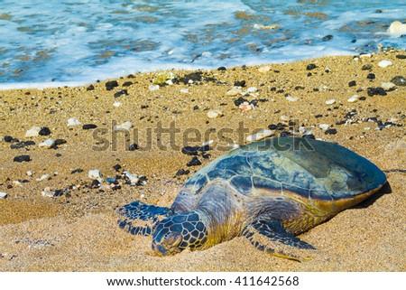 Rare green sea turtle resting on Hawaiian beach - stock photo