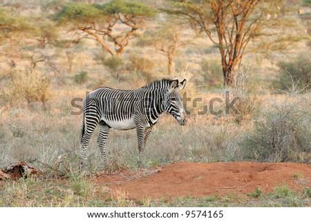 Rare Grevy Zebra in Buffalo Springs at Sunset - stock photo