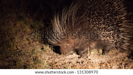 Rare nocturnal african porcupine
