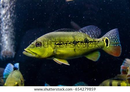Rare Peacock Bass Xing...